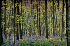 Springtime and bluebells at Hallerbos woods Royalty Free Stock Photography
