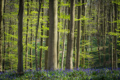 Springtime and bluebells at Hallerbos woods Royalty Free Stock Photo