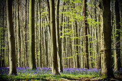 Springtime and bluebells at Hallerbos woods Royalty Free Stock Images