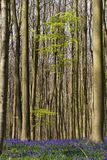 Springtime and bluebells at Hallerbos woods Royalty Free Stock Image