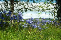 Springtime bluebells among'st the trees. Stock Photography