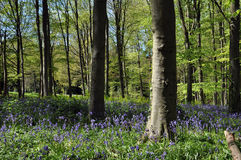 Springtime bluebells among'st the trees in Queenswood, Herefordshire. Royalty Free Stock Photo
