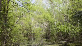 Springtime bog forest Royalty Free Stock Images