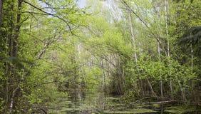Springtime bog forest. With standing water. Belarus, Belovezhskaya Pushcha royalty free stock images