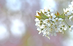 Springtime: branch with white blossoms Royalty Free Stock Image