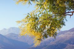 Springtime . Branch of yellow flowers of Acacia dealbata mimosa against mountains on sunny spring day. Montenegro. Spring flowers. Branch of yellow flowers of stock photos