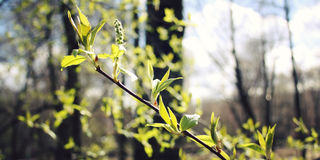 Springtime. Buds and branches macro background - toned filter. Royalty Free Stock Photography