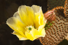 Springtime Cactus Blossoms Royalty Free Stock Photography