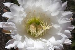 Centre of large white flower of an organ pipe cactus stock photography