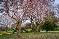 Springtime at the Capitol. Magnolia trees display Spring blooms on the grounds of the U.S. Capitol stock photo