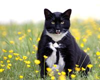 Springtime Cat. This is a photograph of a cat in a field of buttercups Stock Image