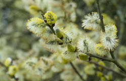 Springtime catkins on willow tree. Close up of male catkins on willow tree in spring Stock Images