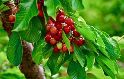 Bing Cherries, Lake Osoyoos, British Columbia, Canada. Springtime cherries in the orchards of the Okanagan Valley, South Western Canada royalty free stock photo