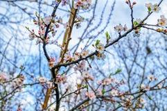 Springtime cherry blossom Royalty Free Stock Image