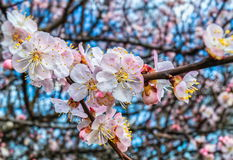 Springtime cherry blossom Stock Image