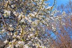 Springtime cherry blossom Royalty Free Stock Photo