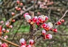 Springtime cherry blossom Royalty Free Stock Photos
