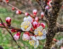 Springtime cherry blossom Stock Images