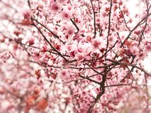 Springtime cherry blossom background Stock Photos