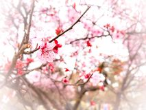 Springtime cherry blossom background Royalty Free Stock Photo