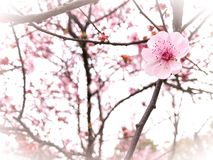 Springtime cherry blossom background Royalty Free Stock Image