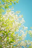 Springtime. Cherry blossom with beautiful bokeh under blue sky Royalty Free Stock Image