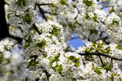 Springtime Cherry Blossom Royalty Free Stock Photo