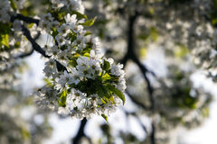 Springtime Cherry Blossom Stock Images