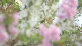 Springtime. Cherry blossoms in springtime - tree branches waving in the wind stock footage