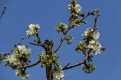 Springtime cherry branch at park in blossom Royalty Free Stock Photography