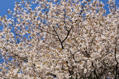 Springtime, cherry tree.blossom. Royalty Free Stock Image