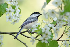 Springtime Chickadee. A black capped chickadee (Poecile atricapillus) perching in the branches of a pear tree in Springtime Royalty Free Stock Photo
