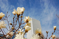 Springtime in the city. Magnolia flowering with skyscrapers in background Stock Photography