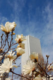 Springtime in the city. Magnolia flowering with skyscrapers in background Stock Photo