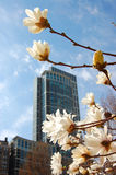 Springtime in the city. Magnolia flowering with skyscrapers in background Royalty Free Stock Photos