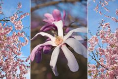 Collage - single magnolia blossom and blooming cherry tree Stock Photos