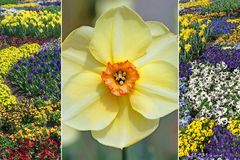Collage - single narcissus blossom and flowerbed with violas. Springtime collage - single narcissus blossom and flowerbed with violas in april Stock Image