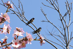 Springtime. Comeback. Swallows and blossoming fruit tree with blue sky. Springtime Stock Images