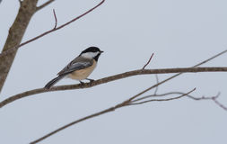 Springtime comes, Black cap chickadee, Poecile atricapillus, on a branch on a very early, grey spring day. Stock Photos