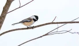 Springtime comes, Black cap chickadee, Poecile atricapillus, on a branch on a very early, grey spring day. Stock Image