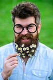 Springtime concept. Guy looks nicely with daisy or chamomile flowers in beard. Man with long beard and mustache. Defocused green background. Hipster with beard Stock Photography