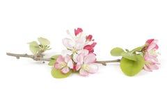 Springtime crabapple flowers Royalty Free Stock Image