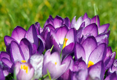 Springtime Crocus. Dominant violet crocus flowers in full bloom at springtime Stock Images