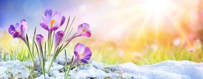 Free Springtime - Crocus Flower Growth In The Snow Stock Photos - 139094533