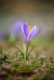 Springtime crocus Stock Photos