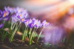 Springtime crocuses at sunbeam, springtime outdoor. Nature stock photography