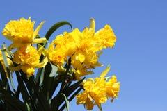 Springtime Daffodils Stock Photo