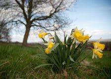 Springtime Daffodils Stock Photography