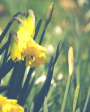 Springtime Daffodils With Bee. Field of Daffodils in Sunshine in Spring Stock Images