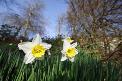 Springtime daffodils in a field Stock Photos